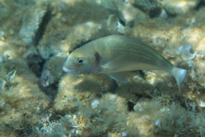 Gilt-head bream (Sparus aurata), Adiratic See. Orada (komarča)