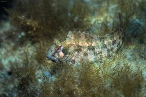 Tompot blenny (Parablennius gattorugine), Adriatic See. Babica mrkulja.