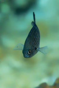Damselfish (Chromis chromis). Crnej.