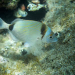 Common two-banded sea bream (Diplodus vulgaris). Fratar.