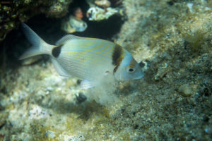 Common two-banded sea bream (Diplodus vulgaris), Adriatic See. Fratar.