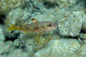 Striped red mullet (Mullus surmuletus), Adriatic See. Trlja kamenjarka.