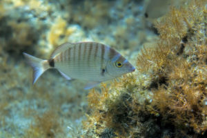 Sheephead bream (Diplodus puntazzo), Adriatic See. Pic.