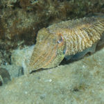Common Cuttlefish (Sepia officinalis). Sipa.