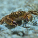 The warty crab (Eriphia verrucosa). Grmalj (runjavac, žbirac).