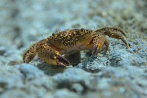 The warty crab (Eriphia verrucosa), Adriatic See. Grmalj (runjavac, žbirac).