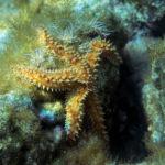 Spiny Starfish (Marthasterias glacialis). Velika križnjača.