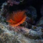 The red tube worm (Serpula vermicularis). Narančastocrveni cjevaš.