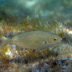 Dreamfish (Sarpa salpa). Salpa.