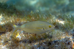 Dreamfish (Sarpa salpa), Adriatic See. Salpa.