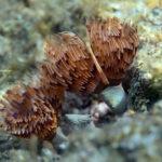 Twin fan worm (Bispira volutacornis). Dvospiralni cjevaš.
