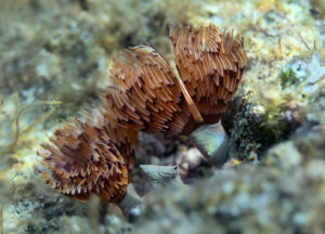 Twin fan worm (Bispira volutacornis), Adriatic See. Dvospiralni cjevaš.