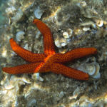 The Mediterranean red sea star (Echinaster sepositus). Crvena zvjezdača.