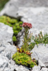 Houseleeks (Sempervivum montanum). Schlechanova čuvarkuća.