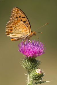 The High Brown Fritillary (Argynnis adippe), female. Adipina sedefica, ženka.
