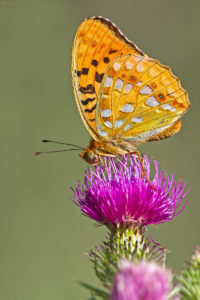 The High Brown Fritillary (Argynnis adippe), male. Adipina sedefica, mužjak.