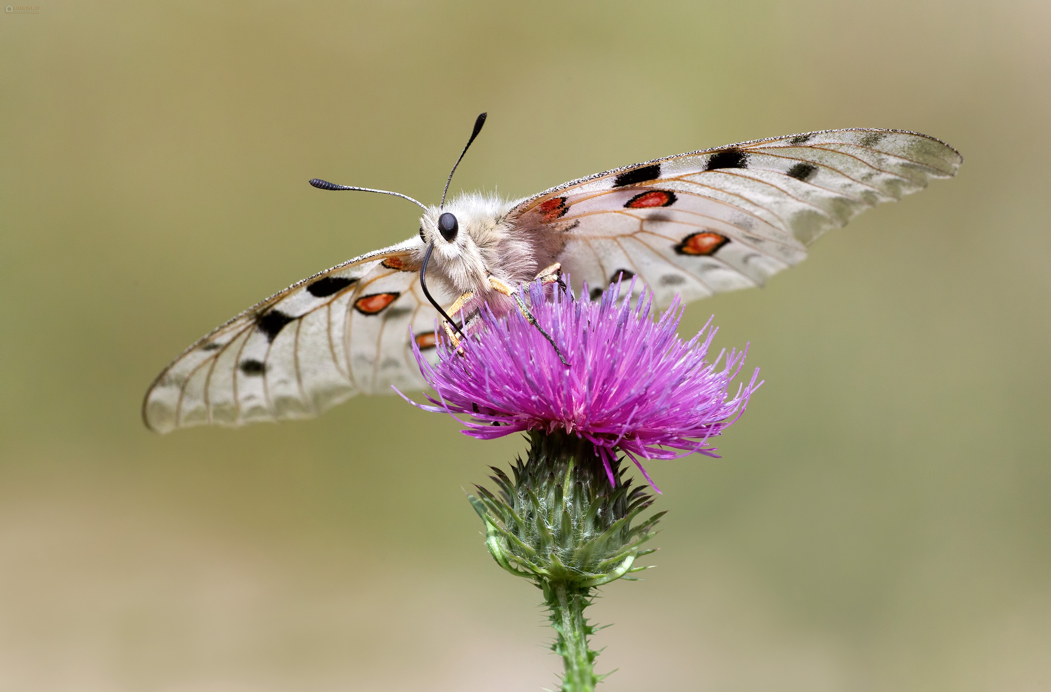 Mountain Apollo (Parnassius apollo) on plumeless thistle. Apolon na bodljikastom stričku.