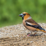 Hawfinch (Coccothraustes coccothraustes). Batokljun.
