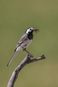 Wagtail (Motacilla alba) with prey. bijela pastirica sa plijenom.