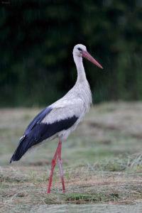 White Stork (Ciconia ciconia). Bijela roda.