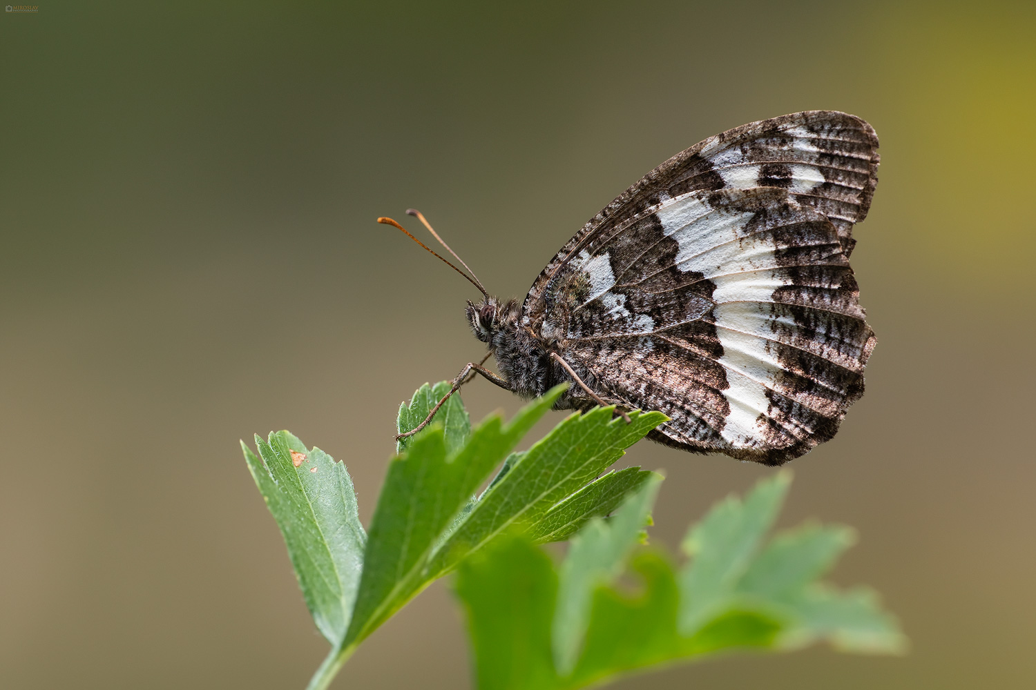 Great Banded Grayling (Brintesia circe). Bijeli šumski vratar.