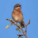Subalpine Warbler (Sylvia cantillans). Bjelobrka grmuša.
