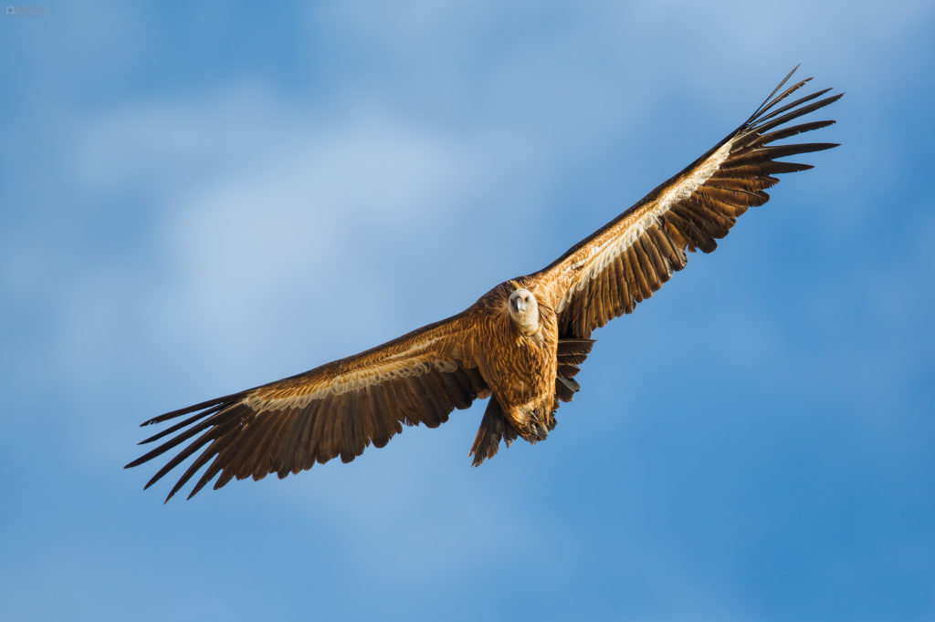Griffon Vulture (Gyps fulvus) in flight. Bjeloglavi sup u letu.
