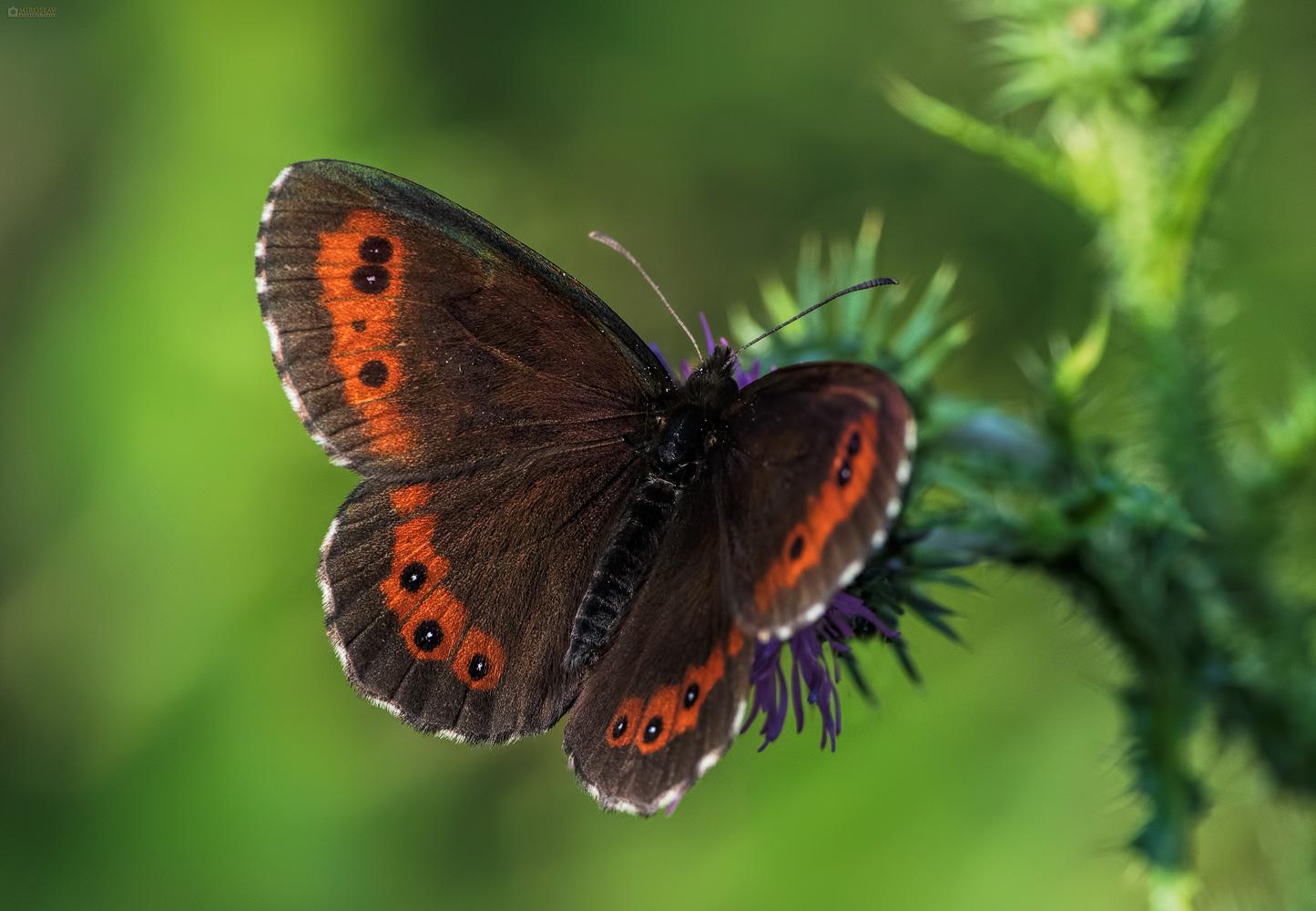 The Arran brown (Erebia ligea). Bjelokrili planinski okaš.