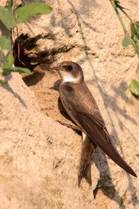 Sand Martin (Riparia riparia). Bregunica.
