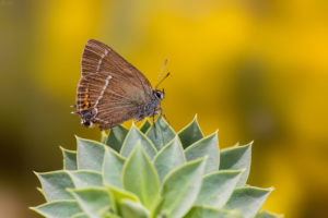White-letter Hairstreak (Satyrium w-album). Brijestov repić.