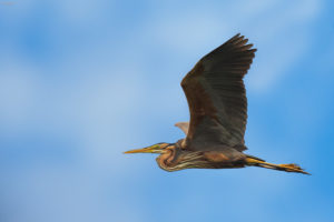 Purple heron (Ardea purpurea) in flight. Čaplja danguba u letu.
