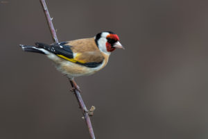 Goldfinch (Carduelis carduelis). Češljugar.