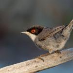 Sardinian Warbler (Sylvia melanocephala), male. Crnoglava grmuša, mužjak.