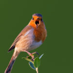 Robin (Erithacus rubecula). Crvendać.
