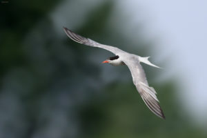 The Common Tern (Sterna hirundo) in flight. Crvenokljuna čigra u letu.