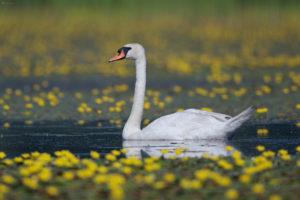 Mute Swan (Cygnus olor). Crvenokljuni labud.