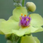 Nettle-leaved mullein (Verbascum chaixii). Divizma.