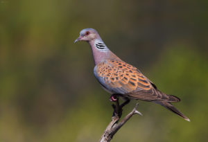 Turtle Dove (Streptopelia turtur). Grlica.