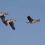 Greylag gooses (anser anser) in flight. Divlje guske u letu.
