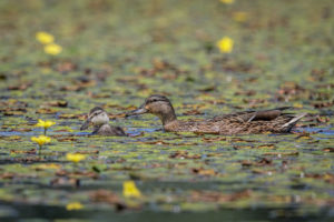 Wild Duck (Anas platyrhynchos). Divlja patka.