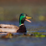 Wild Duck (Anas platyrhynchos), male. Divlja patka, mužjak.