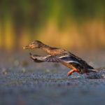 Wild Duck (Anas platyrhynchos), female. Takeoff. Divlja patka uzlijeće.