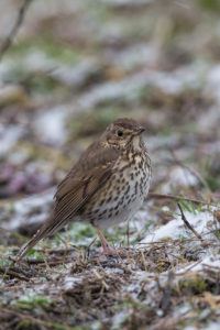 The Song Thrush (Turdus philomelos). Drozd cikelj.