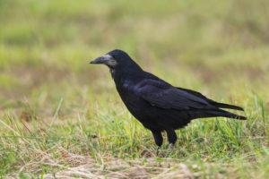 Rook (Corvus frugilegus). Gačac.
