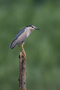 Night Heron (Nycticorax nycticorax). Gak.