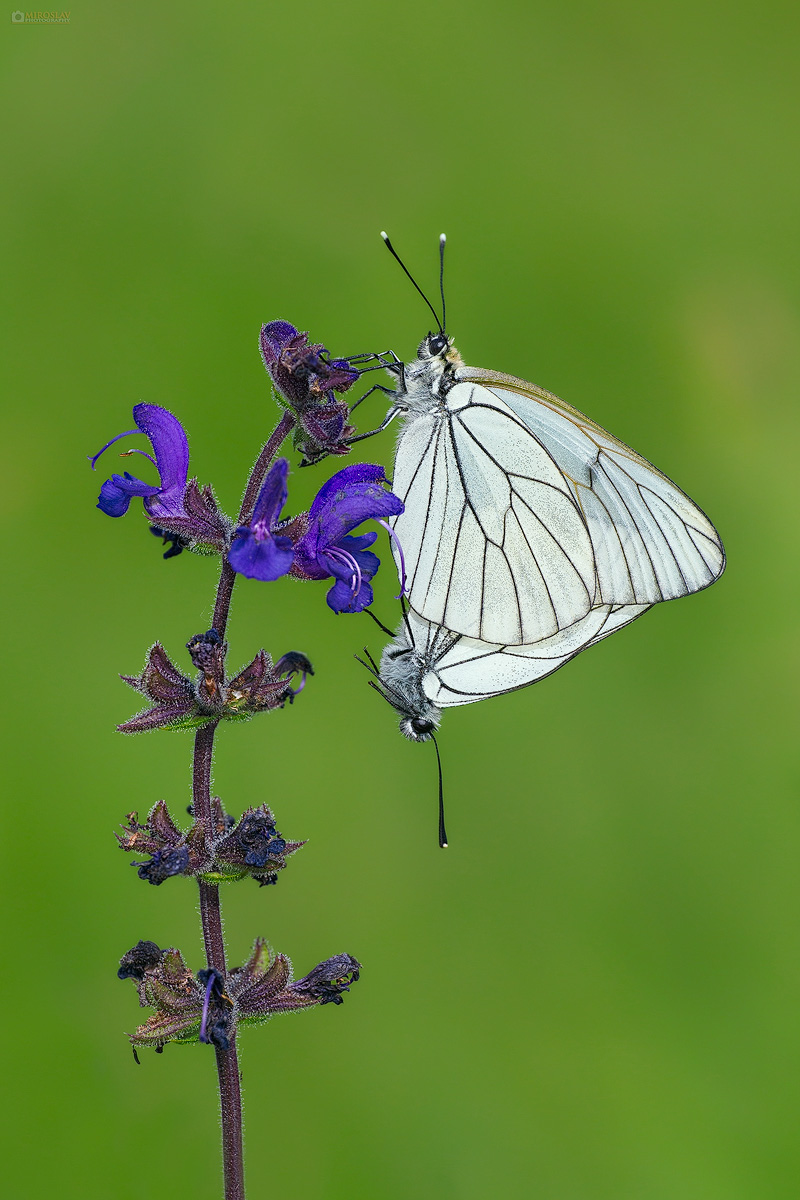 Black-veined White (Aporia crataegi). Glogov bijelac.