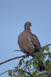 Woodpigeon (Columba palumbus). Golub grivnjaš.