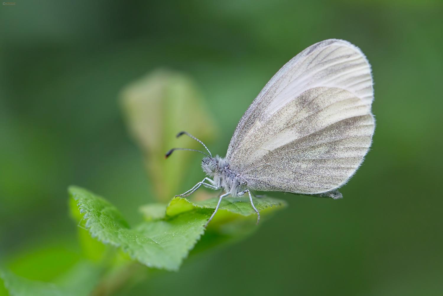 Wood white (Leptidea sinapis). Gorušičin bijelac.