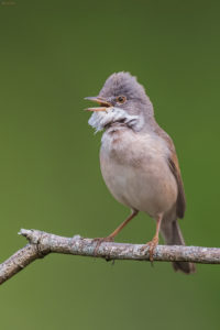 Whitethroat (Sylvia communis). Grmuša pjenica,