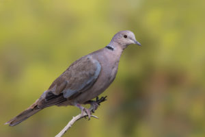 Collared Dove (Streptopelia decaocto). Gugutka.